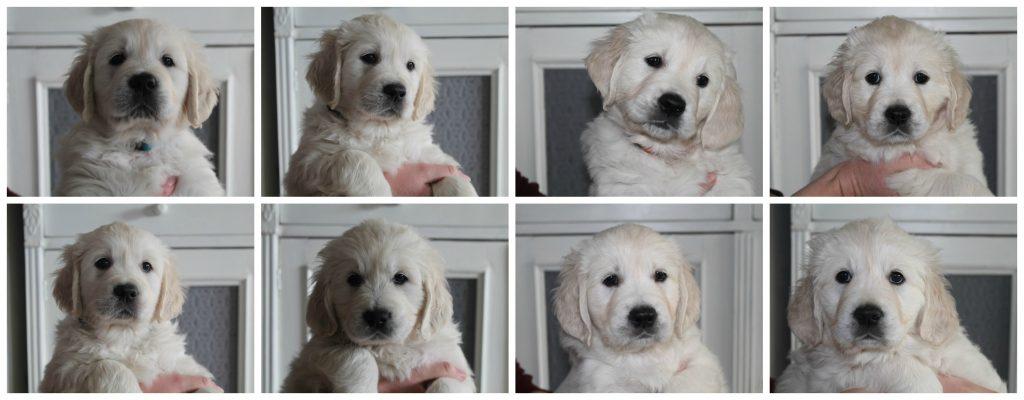 Pups 8 weken